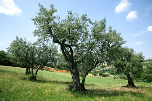 olive trees olive leaf extract