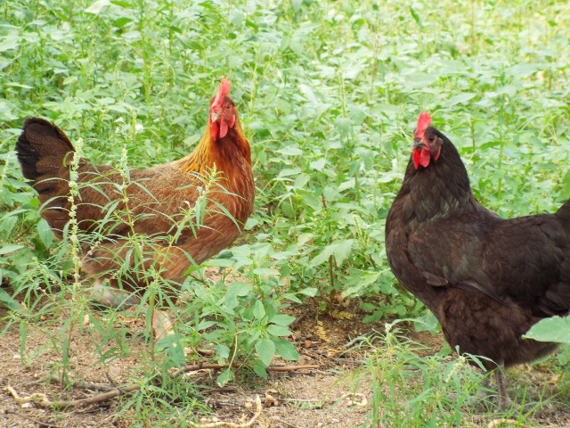 chickens wild amaranth greens foraging