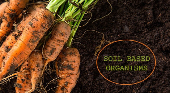 soil based organisms carrots