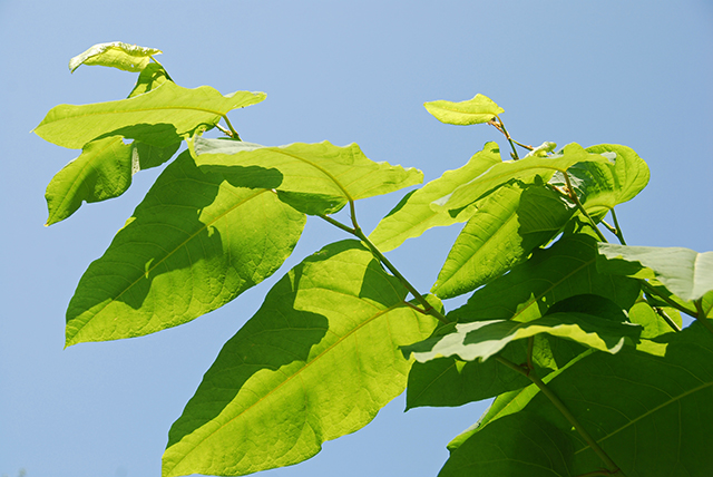 Knotweed (Polygonum cuspidatum) is a major source for resveratrol