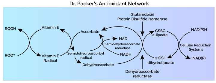 Lester Packer antioxidant network diagram