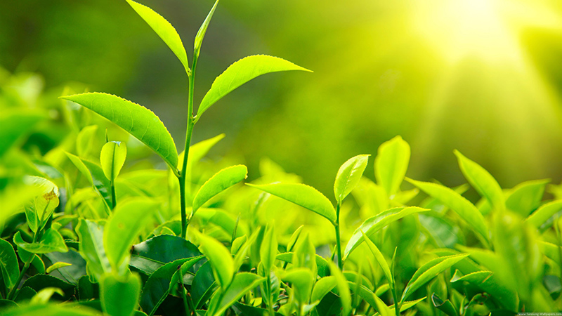 Green tea antioxidant polyphenols catechins