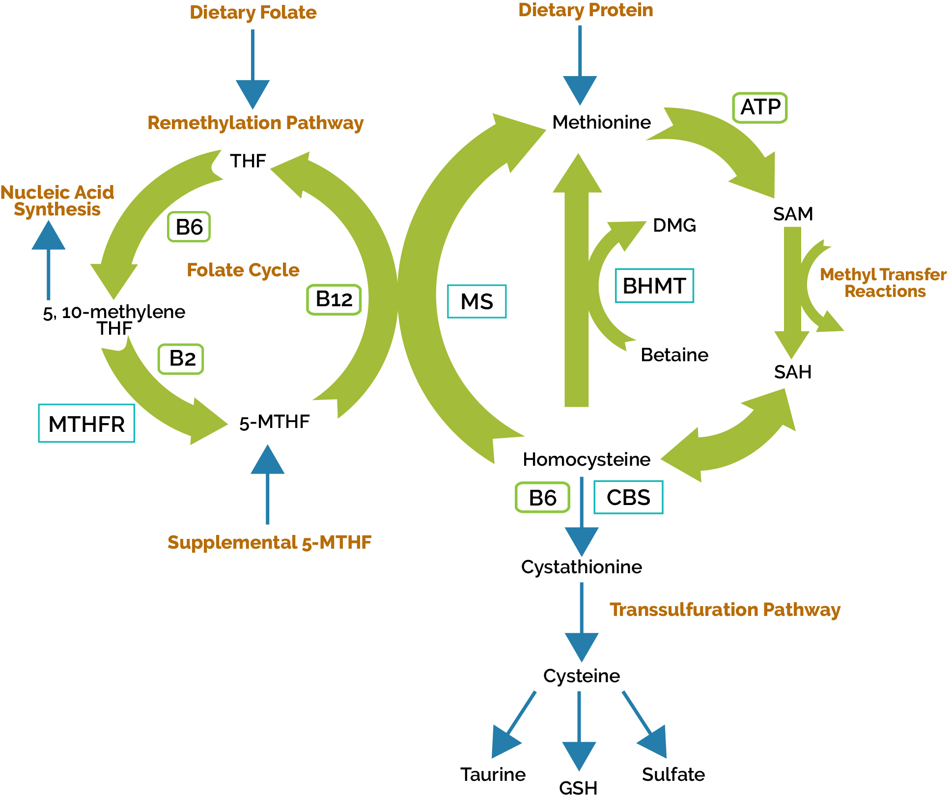 Methylation Cycle